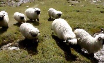 VIDEOD: Maailma ilusaimate lammaste hulgast valitakse kõige kaunim