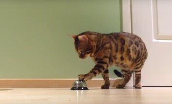 Täpiline trikimeister: kass Müstik näitab, et isegi kodutiigrid suudavad koertele õpetatavaid käsklusi täita