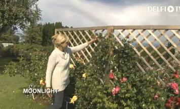 KODUSAADE: Kuidas saada roosilist seina?