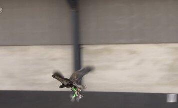VIDEO: Taani firma õpetab kotkaid droone küttima
