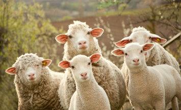 Массовое самоубийство овец в Турции: зачем они это делают?