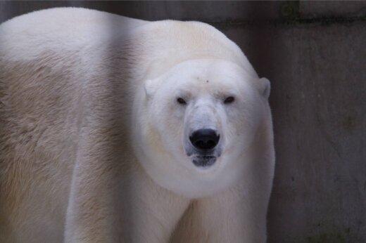 Jääkaru Nora sünnipäev
