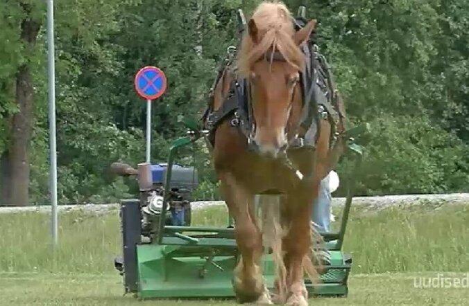 VIDEO: Rapla linnas niidab traktori asemel muru hobune