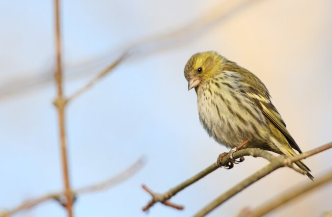 Орнитологи бьют тревогу: численность пернатых в Эстонии стремительно сокращается