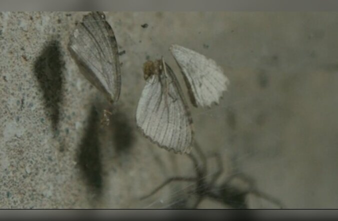 Reportaaž Peeter Suure merekindluse katakombide liblikatest