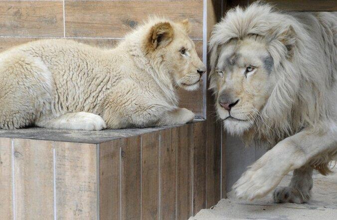 Tšiili mees tahtis end loomaaias lõvidele sööta, ent hukkusid hoopis loomad