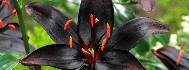 Musta õiega liiliat oled näinud? Nüüd saab teda ka meil kasvatada!