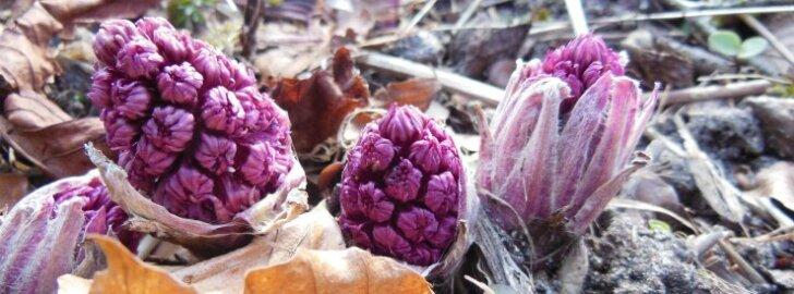 Vaata, millised aprillikuu taimed turgutasid tervist