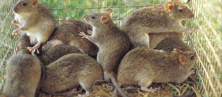 Не любите крыс? Да вы просто не умеете их готовить! Страны, где едят крыс – не от голода, а потому что вкусно