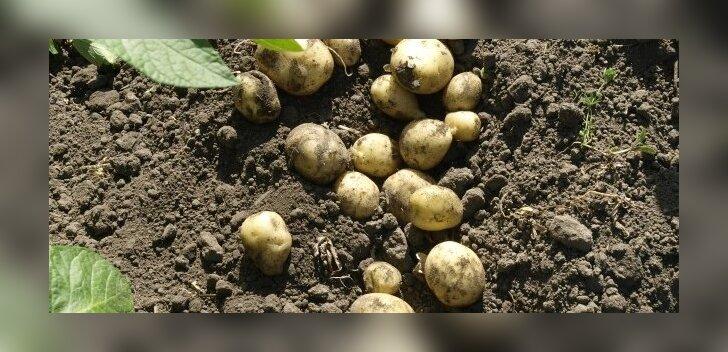 Katseklaasis paljundatud kartulitaimede mugulad on väiksemad