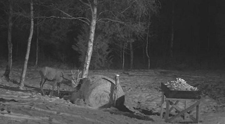 ВИДЕО: Оленья камера начинает трансляцию