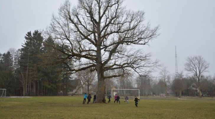 OTSEPILT: VAATA, kuidas Eesti arboristide koja juht jookseb Tallinnast Orissaarde, et inimesed hääletaksid saarel asuva puu poolt