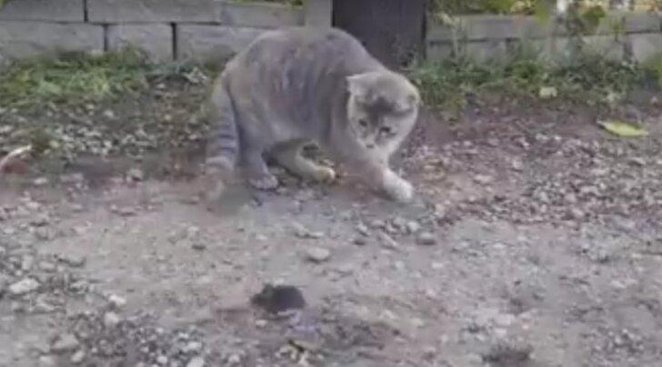 Humoorikas HITTVIDEO: Ootamatu lõpp! Hiirt jälitanud kass jääb järsku tühjade kätega