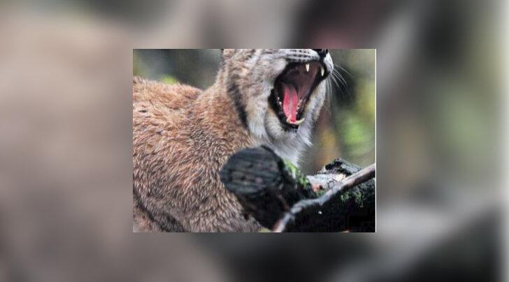 Eestist asustatakse Poola metsadesse ümber kuni 40 ilvest