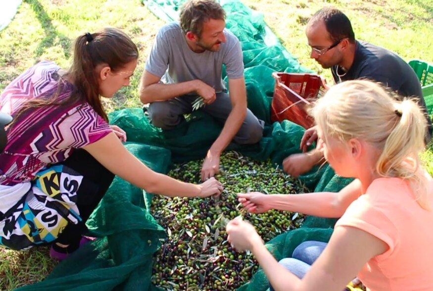 VIDEOD: Itaalias korjatakse oliive siiani käsitsi
